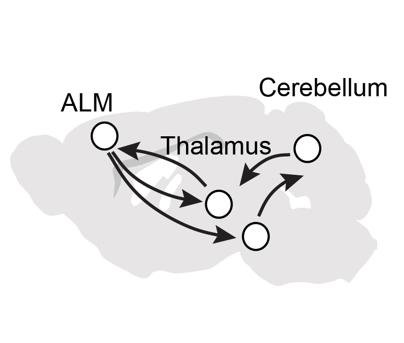 Cerebellum and cortex talk to each other to coordinate movements. Nature paper from Gao lab!